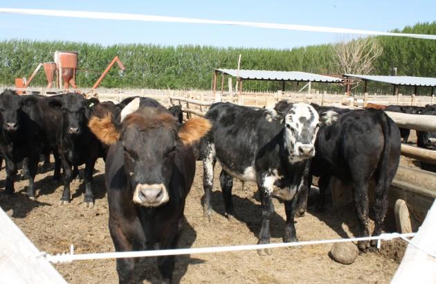 feed lot mendoza 015 (1)