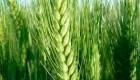 Argentina superará su promedio histórico de siembra de trigo