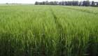 El trigo 2017/18 no se achica y dará batalla a los excesos hídricos