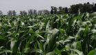 Finalizó la siembra de maíz 2019/20 y proyectan una producción de 49Mt