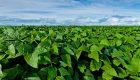 Nueva tecnología para controlar enfermedades en soja